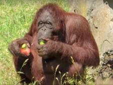 Orang-oetans genieten van ijsjes en een verfrissende douche