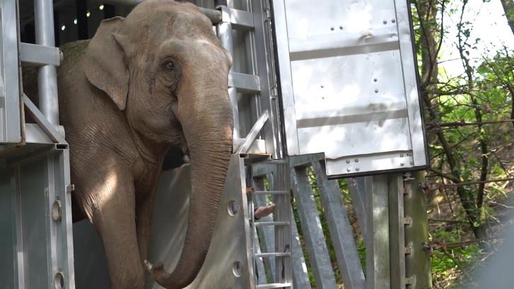 Burgers' Zoo heeft een nieuwe Zweedse bewoner
