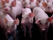 Uitbreiding varkensstallen in De Vleut in Best