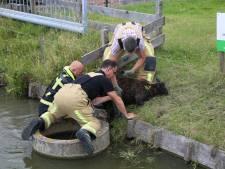 Brandweerlieden hijsen schaap aan wal in Honselersdijk