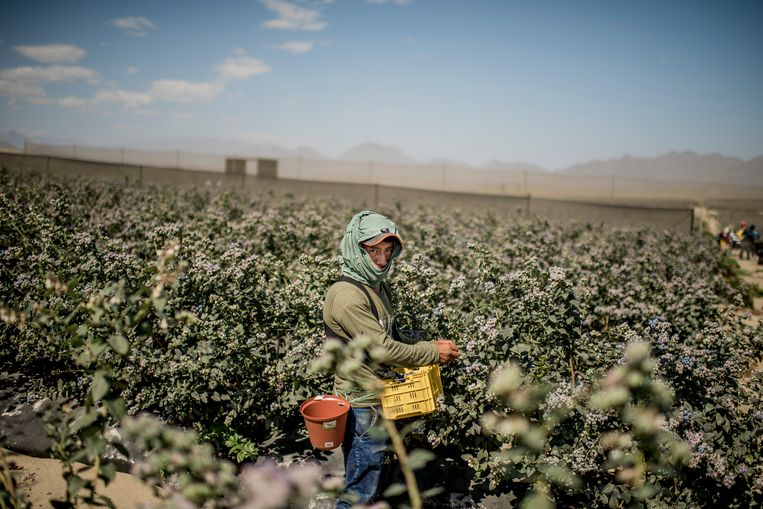 Een bosbessenteler in Peru. De plattelandsbevolking heeft last van de smeltende gletsjers in het Andesgebergte. Beeld Hollandse Hoogte / The New York Times Syndication