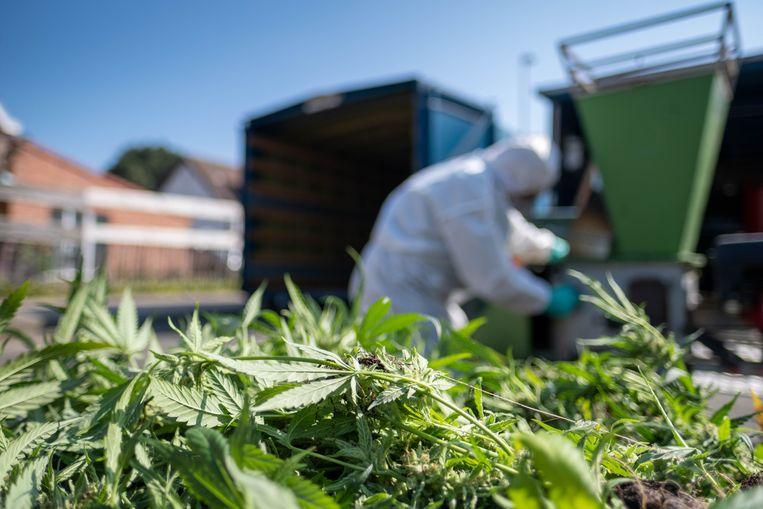 In de Zandvekenvelden in Nijlen werd een cannabisplantage ontdekt