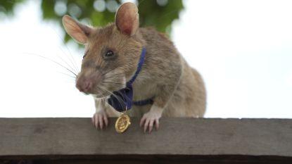 'Belgische' mijnensnuffelende rat krijgt gouden medaille voor dierlijke dapperheid en moed