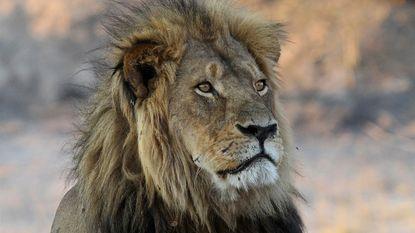 Jager doodt nu ook zoon van leeuw Cecil