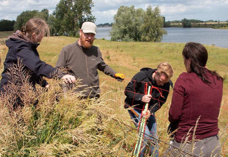 Vrijwilligers plaatsen de afrastering langs de Maasdijk. Tweede van links coördinator Brabant Johan Mees van Wolven in Nederland.