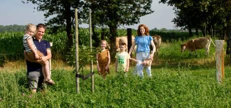 'Agroforestry' in Westerhoven: walnoot en koe gaan prima samen