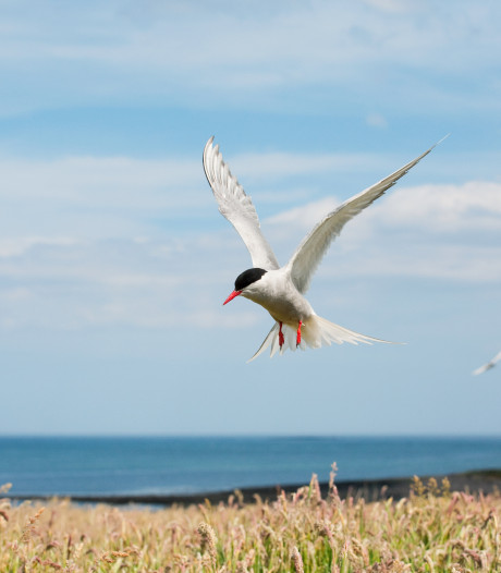 Vogelbescherming boos over baggerstort naast broedende visdieven