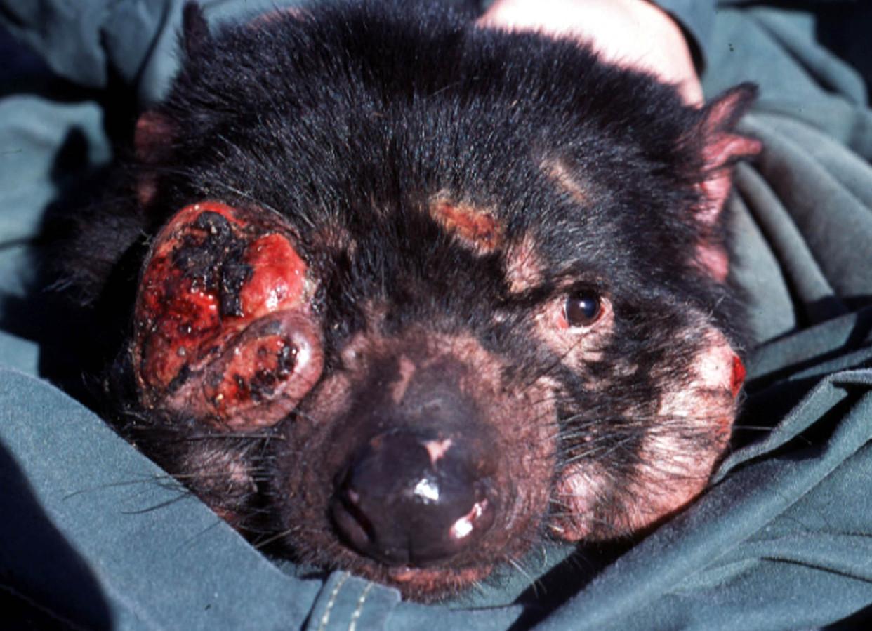 Een Tasmaanse duivel met de erg besmettelijke gelaatskanker.
