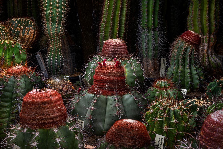 Melocactus soorten.