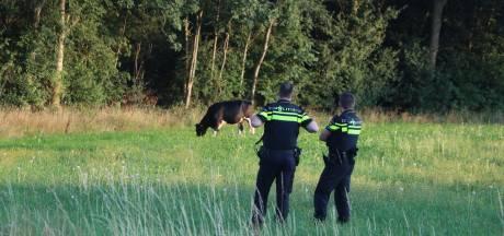 Stier zorgt voor commotie bij afrit A30