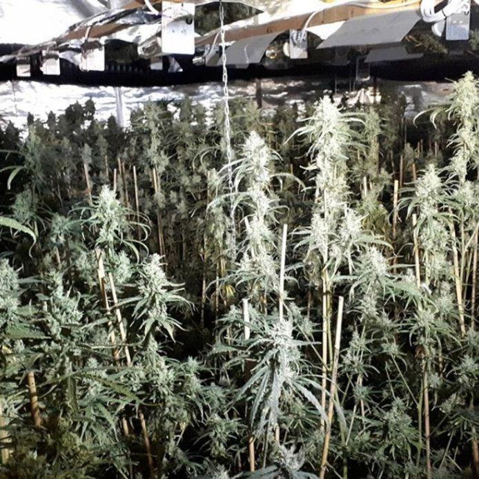 De wietplantage in het bedrijfsgebouw in Terneuzen, zoals de politie die eind augustus aantrof.