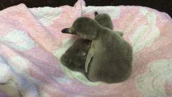 VIDEO. Twee kuikens van bedreigde diersoort geboren in Blankenberge