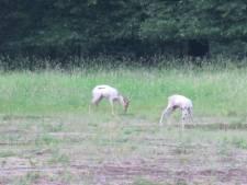 Naast witte herten ook witte reetjes op de Veluwe