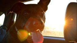 Vrouw laat labrador achter in snikhete auto en mag opdraaien voor takelkosten
