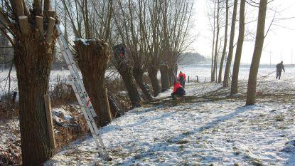 Regionaal Landschap Schelde-Durme zoekt knotbomen