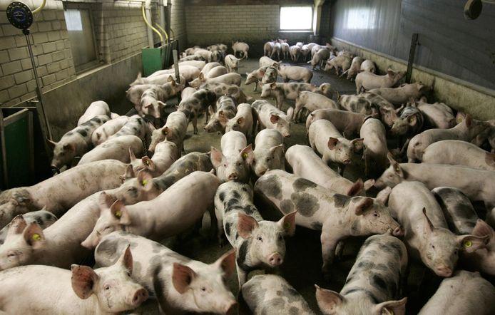 Varkens in stal op boerderij, dit is niet de Knorhof.