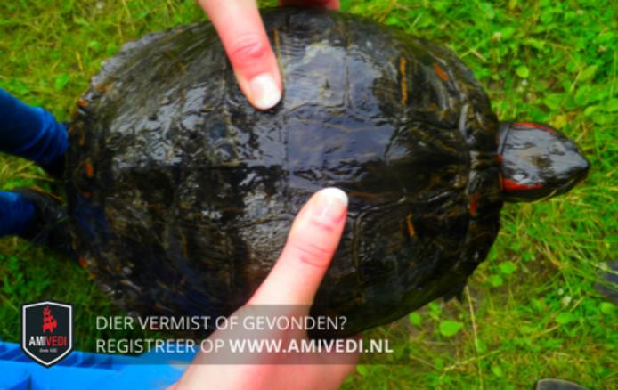 De in Westervoort gevonden roodwangschildpad.
