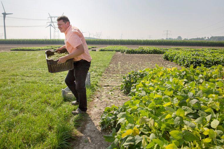 Initiatiefnemer Peter Strijk haalt van het proefveldje de eerste soja-oogst binnen. Beeld Herman Engbers