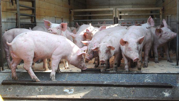 Varkens. Minder boeren gaan ze houden, in ieder geval in Sint Anthonis.