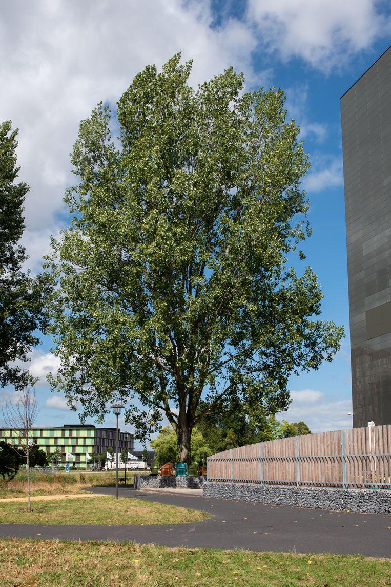 WAGENINGEN, Nederland, 14-08-2018. Boom met eigen twitteraccount op de campus van Wageningen. De populier twittert onder de naam @TreeWatchWUR. Foto: Simon Lenskens Beeld Simon Lenskens