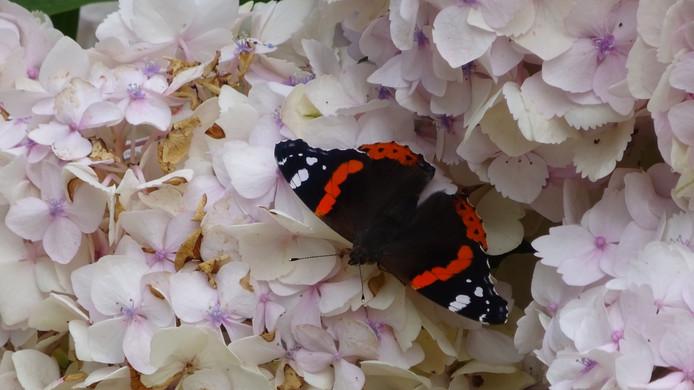 VLINDER Deze prachtige Atalanta vlinder heeft even een pauze nodig. Die neemt hij op de hortensia in de tuin van deze fotografe.