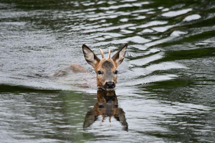 Het is zeker niet de eerste keer dat een ree in het kanaal in Daarlerveen valt. Doordat er geen wildtrapjes zijn rondom het kanaal komen de dieren het water niet uit.