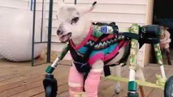 Schattige beelden: gehandicapt lammetje zet eerste stappen met speciale wandelwagen