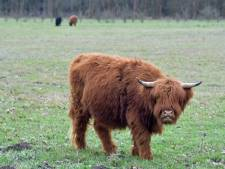 Wandelaars in Clingse Bossen kunnen zomaar oog in oog staan met vier Schotse hooglanders