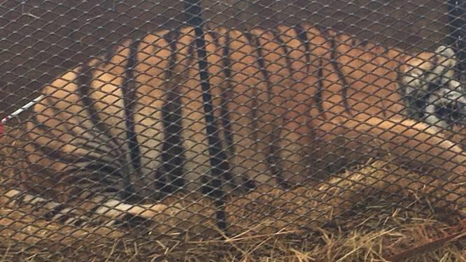 Veel te dikke tijger in kleine kooi aangetroffen in verlaten huis in Houston
