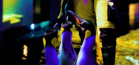 Antwerpse Zoo stimuleert pinguïns in hun broedsucces met speciaal lichteffect