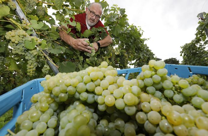 Inno Venhorst denkt genoeg druiven te oogsten voor ruim 1.500 flessen wijn.
