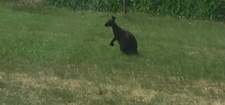 Wallaby in het wild in Staphorst