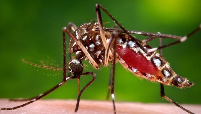 Een mug van het geslacht Aedes aegypti, overbrenger van het Zika-virus. Beeld ap