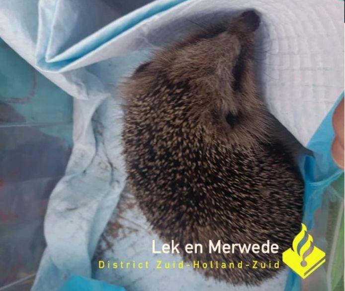 De politie vond deze egel in een aquarium in een woning in Molenlanden.