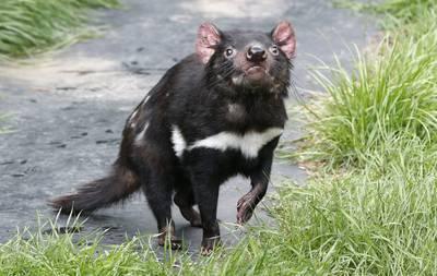 hoopvolle-ontdekking-voor-met-uitsterven-bedreigde-tasmaanse-duivels