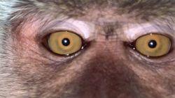 Maleisische student vindt selfies van aap op zijn telefoon
