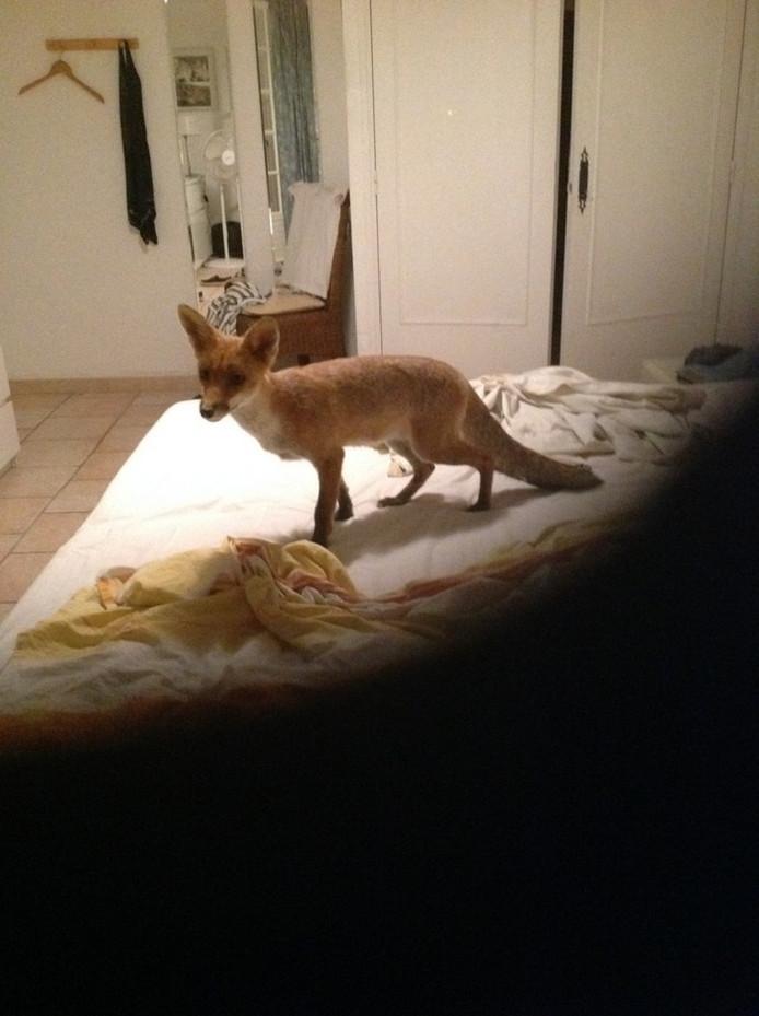 Deze vos zag Merle op haar bed zitten toen ze 's morgens vroeg wakker schrok.