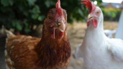 Wie wil wilde kippen uit Corbiestraat adopteren?