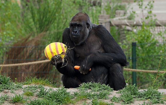 De gorilla's en chimpansees vonden wortels en kippeneieren in hun eieren van papier-maché.