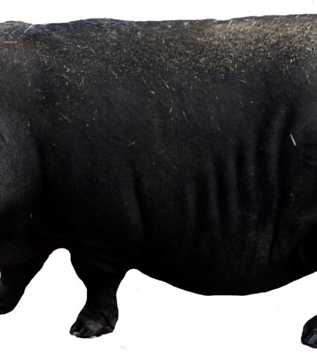 Dierenbeul beschiet hangbuikzwijn met pijlen en steekt hok in brand
