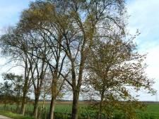 Ruim twintig bomen worden gekapt vanwege een iepziekte