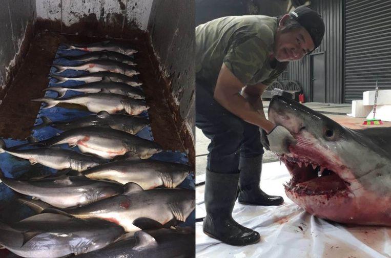 De reusachtige witte haai belandde in een vissersnet en stierf. Het kadaver werd uiteindelijk voor zo'n 2.000 dollar verkocht, 14 pups incluis.