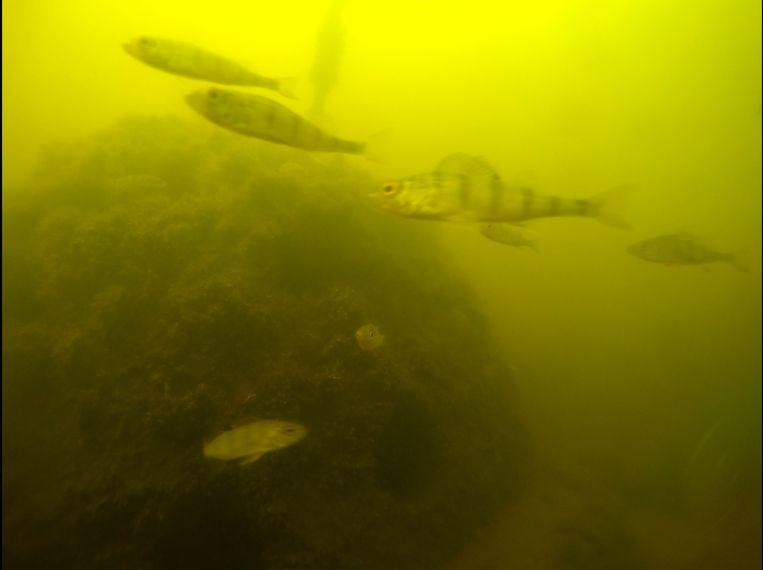 Onderwatercamera's registreren de bewegingen van baarzen. Beeld *