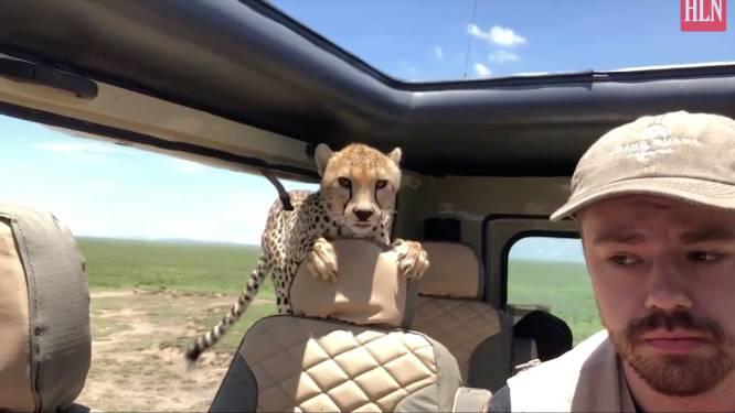 En plots zit er een cheeta op je achterbank