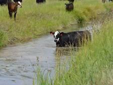 Brandweer redt koe uit sloot in Leiderdorp