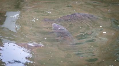 """Er zijn weer karpers te zien in de Brugse reien door helder water: """"Bootjes varen niet uit, dus blijft de modder op de bodem"""""""