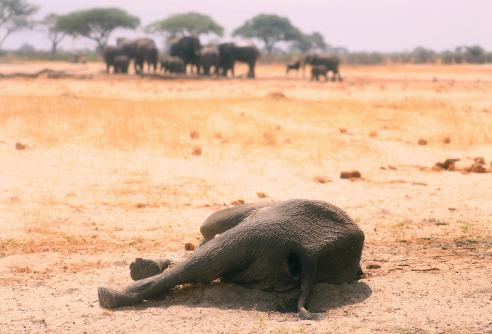 Een dode olifant in Hwange National Park, Zimbabwe.