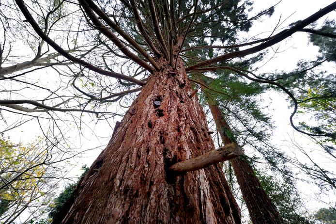Sequoia's komen veel voor in de Verenigde Staten en werden een jaar of 25 geleden ook populair in Nederland omdat ze snel groeien, ook onder moeilijke omstandigheden.