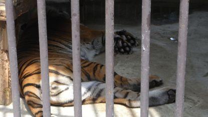 Tijger, beren en apen al twee maanden opgesloten in verlaten dierentuin