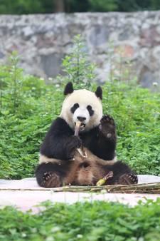 Nog even geduld voor de panda's in Rhenen